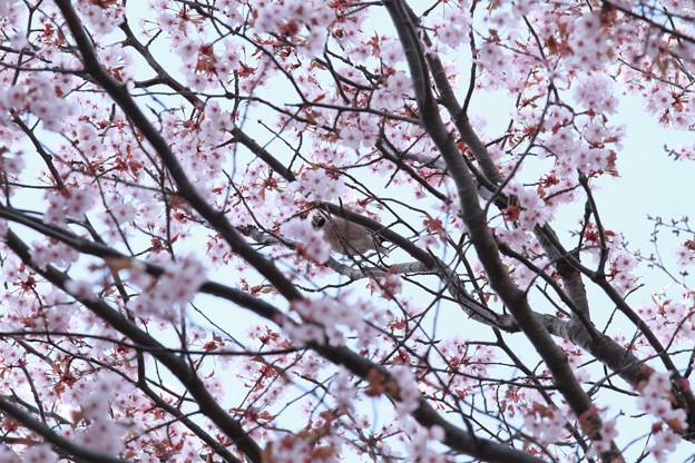 Photos: 桜と強面