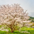 里山の春 ~桜花~