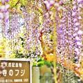 Photos: ほら、藤の花が咲いたよ・・・今年も