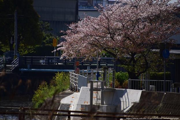 0558 桜も