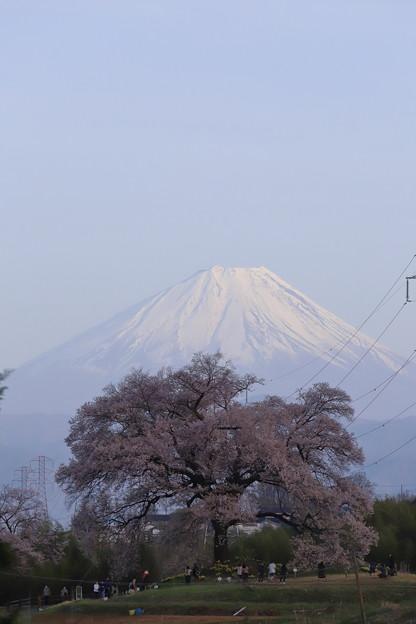わに塚の桜と富士