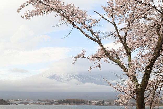 桜は見頃、富士は?1