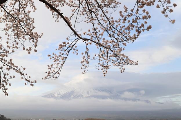 桜は見頃、富士は?2