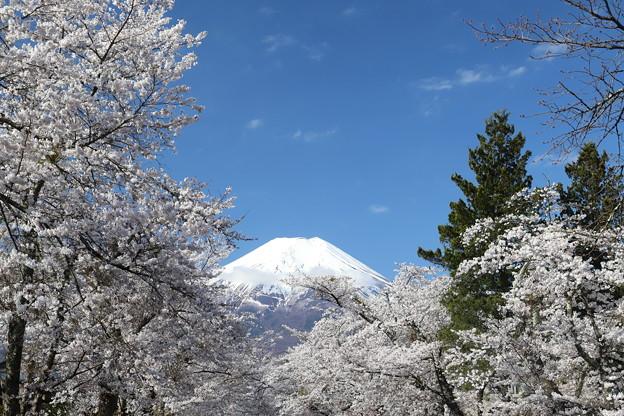 忍野の春1