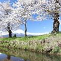 忍野の春2