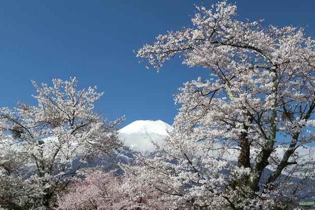 忍野の春4