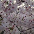 Photos: 「囁きの望春」