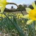 Photos: 水仙の畑