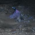 水浴び中の三光鳥 SS=1/640 秒・正午12:11・・