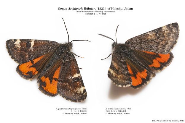日本産カバシャク亜科 全2種
