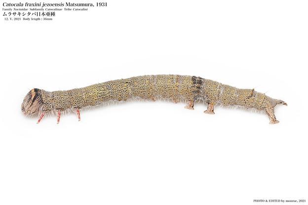 ムラサキシタバ#12