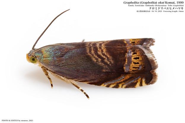 クロミドリバエヒメハマキ