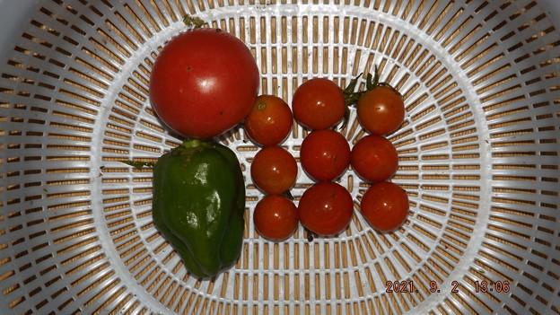 2021/09/02(木)・雨の中の午後に採れた野菜達