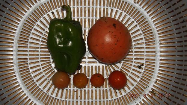 2021/09/04(土)・雨の中、午後に採れた野菜達