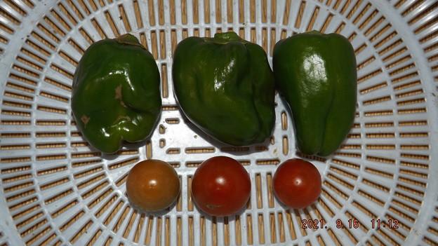 2021/09/16(木)・昼前に採れた野菜達