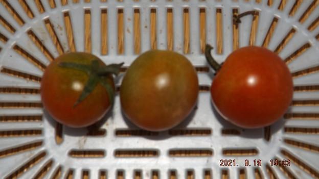2021/09/19(日)・午後に採れた野菜
