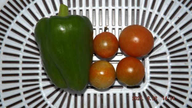 2021/09/22(水)・午後に採れた野菜達