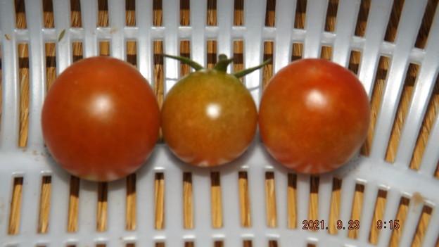 Photos: 2021/09/23(木・祝)・朝に採れた野菜