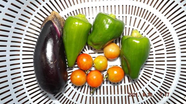 2021/09/30(木)・朝に採れた野菜達