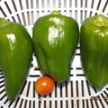 2021/10/03(日)・朝に採れた野菜達