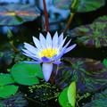 Photo: 熱帯性睡蓮