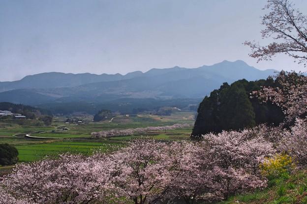 春は桜 桜は春