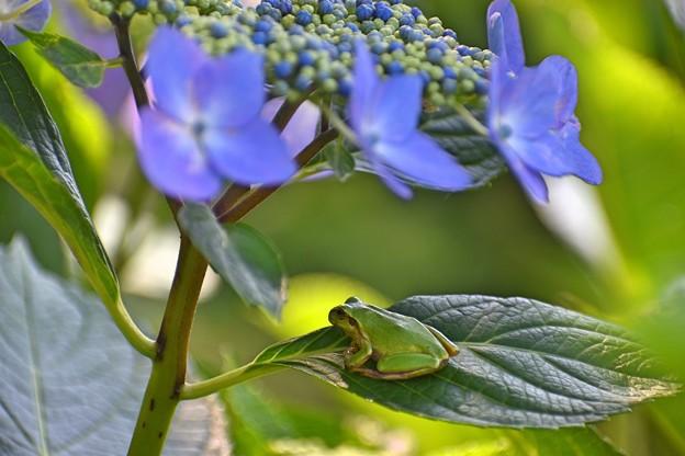 紫陽花に憩う 2