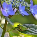 Photos: 紫陽花に憩う 2