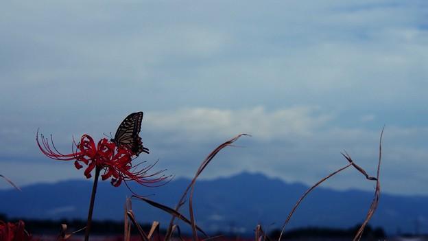 Photos: 彼岸花とアゲハ蝶
