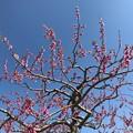 0415_桃の花