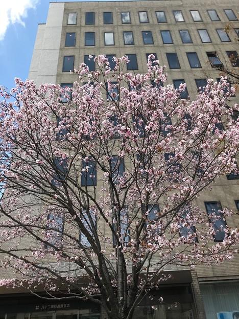 0419_八重桜かな?