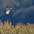 涸沼の猛禽