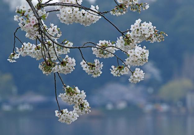千波湖の桜