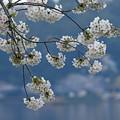 Photos: 千波湖の桜
