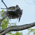 Photos: ツミ母鳥