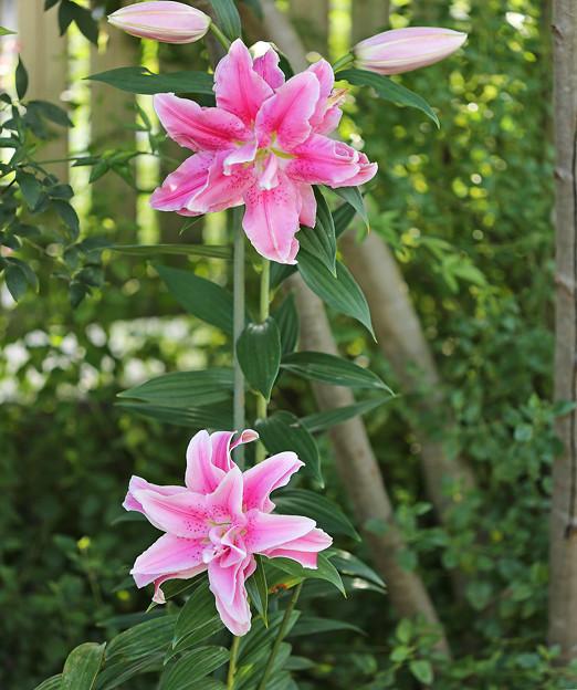 八重咲きのユリ