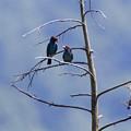 Photos: 青い鳥樹上の愛
