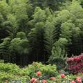 Photos: 薔薇と竹林