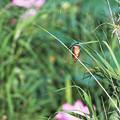 Photos: カワセミらしき鳥が