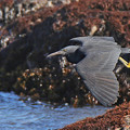 Photos: 飛翔図鑑クロサギ