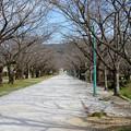 桜並木(開花前)