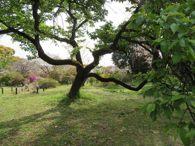 小石川植物園11