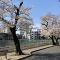 すがも桜並木通り1