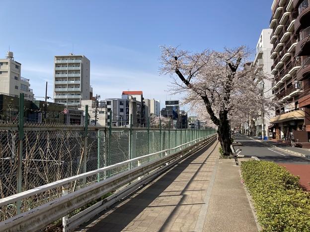 すがも桜並木通り2