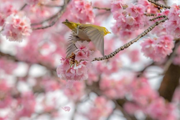 彼岸桜とメジロ♪