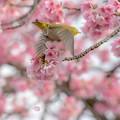 Photos: 彼岸桜とメジロ♪