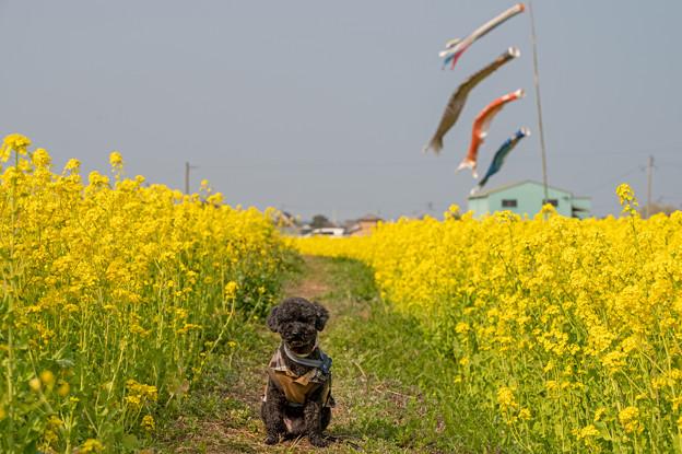 菜の花畑♪