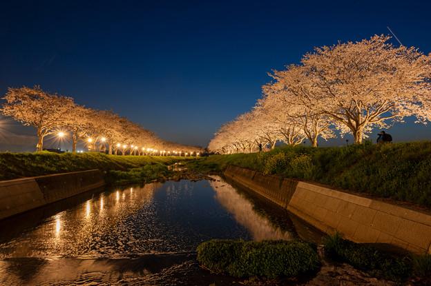 草場川の桜並木ライトアップ♪
