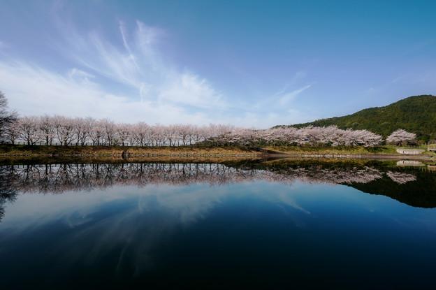 炭焼池公園の桜並木♪