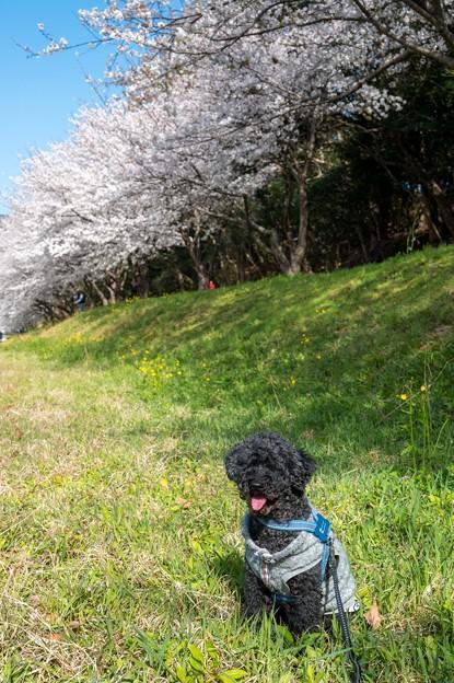 水城跡の桜と菜の花♪